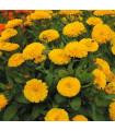 Nechtík lekársky žltý - Calendula officinalis - semiačka - 30 ks
