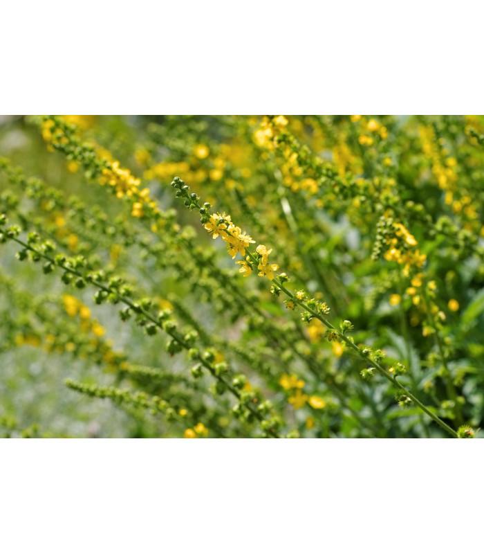 Repík lekársky - Agrimonia eupatoria - semiačka - 20 ks