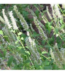 Yzop lekársky biely - Hyssopus officinalis - semiačka - 100 ks
