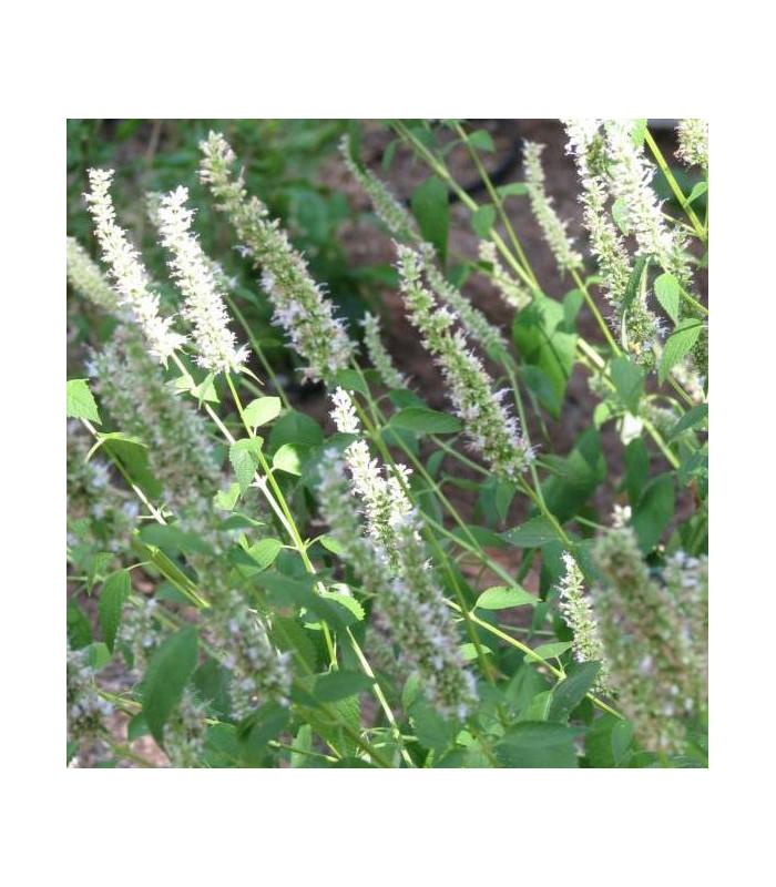Yzop lekársky biely - Hyssopus officinalis - semiačka - 0,1 gr