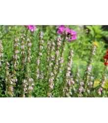 Yzop lekársky ružový - Hyssopus officinalis -semiačka - 0,1 gr