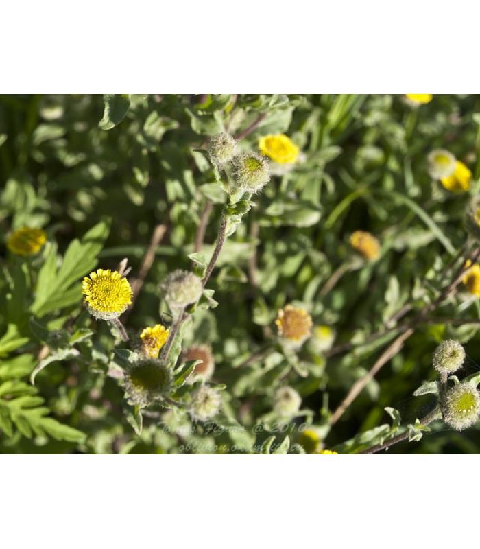 Blšník obyčajný - Pulicaria vulgaris - semiačka - 15 ks