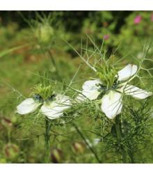 Černuška siata - Rasca čierna - Nigella sativa - semiačka - 25 ks