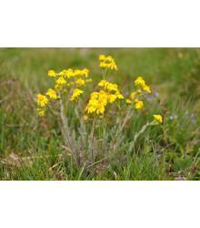 Ruman farbiarsky - Anthemis tinctoria - semiačka - 0,5 gr