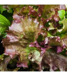 Šalát trhací americký hnedý - Lactusa sativa - semiačka - 450 ks