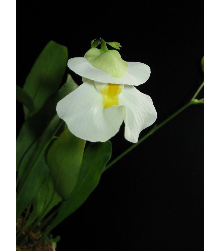 Bublinatka - Utricularia alpina - semiačka - 15 ks