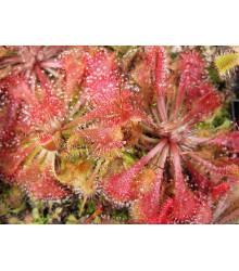 Rosička - Drosera spathulata - semiačka - 15 ks