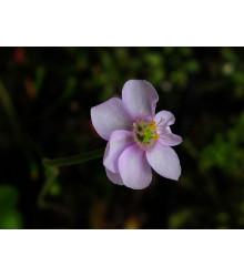 Rosnatka - Drosera venusta - semiačka - 15 ks