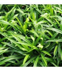Palmová tráva - Setaria palmifolia - semiačka - 10 ks