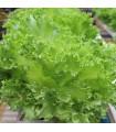 Šalát kučeravý letný - Lactusa sativa - semiačka - 0,5 gr