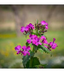Mesačnica dvojročná fialová - Lunaria biennis - semiačka - 50 ks