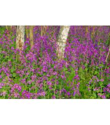 Mesačnica ročná fialová Honesty - Lunaria annua - semiačka - 50 ks