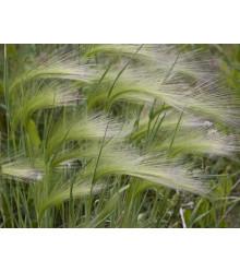 Jačmeň hrivnatý - Hordeum jubatum - semiačka - 10 ks