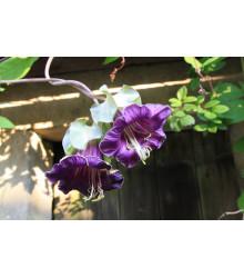 Kobea šplhavá fialová - Cobaea scandens - semená kúpiť - 7 ks