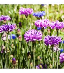 Nevädza Polka zmes - Centaurea cyanus - semiačka - 120 ks