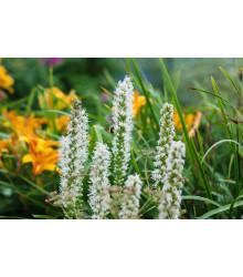 Liatra klasnatá biela Floristan White - Liatris spicata - semiačka - 20 ks