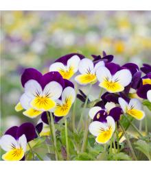 Fialka rohatá Miss Helen Mount - Viola cornuta - semiačka - 100 ks