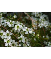 More about Tea tree - Čajovníkový strom- Leptospermum rotundifolium -semiačka - 30 ks