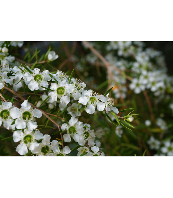 Tea tree - Čajovníkový strom- Leptospermum rotundifolium -semiačka - 30 ks