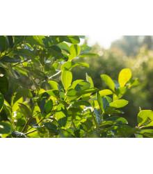 Cezmína paraguajská - Mathé - Ilex paraguariensis - semiačka - 6 ks