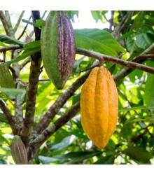 Kakaovník pravý žltý- Theobroma cacao - semiačka - 5 ks