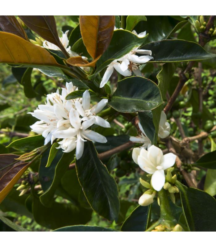 Kávovník robusta - Coffea canephora - semiačka - 5 ks