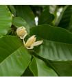 Magnólia champaca - Magnolia champaca - semiačka - 5 ks