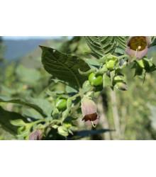 Ľuľkovec zlomocný - Atropa belladonna -semiačka - 10 ks