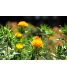 Požlt farbiarsky tmavo oranžový - Carthamus tinctorius - semiačka - 20 ks
