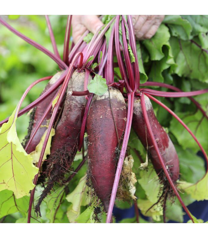 Repa šalátová valcovitá Forono - Beta vulgaris - semiačka - 160 ks
