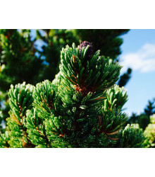 Borovica ostitá - Pinus aristata - semiačka - 5 ks