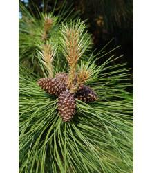 Borovica ťažká - Pinus ponderosa - semiačka - 6 ks