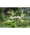 Túžobník brestový - Filipendula ulmaria - semiačka - 8 ks