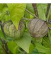 Machovka dužnoplodá - Physalis philadelphica - semiačka - 5 ks