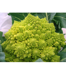 Brokolica Romanesco - Brassica oleracea L. - semiačka - 250 ks