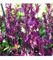 Lebeda záhradná Scarlet - Atriplex hortensis - semiačka - 0,3 gr