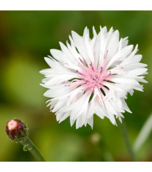 Nevädza poľná ružová - Centaurea cyanus - semená nevädze - 65 ks