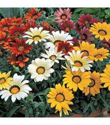 Gazánia lesklá zmes farieb - Gazania splendes - semená letničiek - semená Gazánie - 50 ks