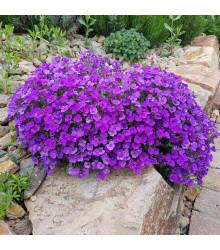 Tarička záhradná fialová - Aubrieta hybrida - predaj semien trvaliek - 200 ks