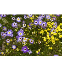 Krátkochlpok iberkolistý zmes farieb - Brachyscome iberidifolia - predaj semien letničiek - 0,1 gr