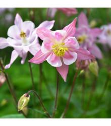 Orlíček Mc Kana zmes farieb - Aquilegia caerulea - semená trvaliek - 0,3 gr