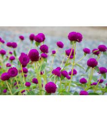 Gomfréna hlávkatá fialová - Gomphrena globosa - predaj semien letničiek - 25 ks