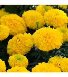 Aksamietnica vzpriamená nízka - Cupido žlutý - Tagetes erecta nana - semená Aksamietnice - 100 ks