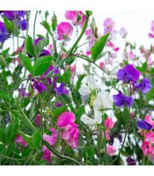 Hrachor voňavý Spencer zmes - Lathyrus odoratus - semená hrachoru- 16 ks