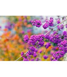 Krásnoplodka - Callicarpa acuminata - predaj semien - 8 ks