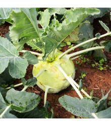 Kaleráb biely neskorý Gigant - Brassica oleracea - osivo kalerábu - 300 ks