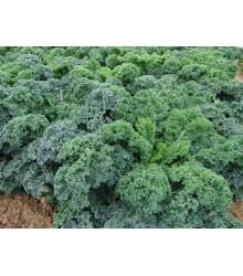 Kel kučeravý Kapral - Brassica oleracea L. convar. - semená kelu - 1 gr