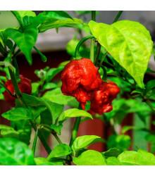 Chilli Carolina Reaper - Najštipľavejšie chilli sveta - Capsicum Chinenses - Predaj chilli semien - 5 ks