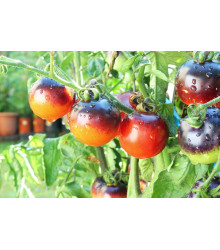 Paradajka kolíková Indigo Rose - Predaj semien - 7 ks