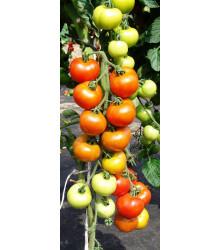 Paradajka Orkado F1 - Lycopersicon lycopersicum L. - Predaj semien paradajok - 0,1 g